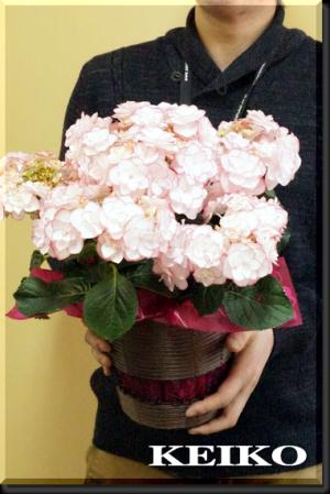 【母の日】KEIKO(ケイコ)という名の新種のあじさい☆鉢植えあじさいの育て方
