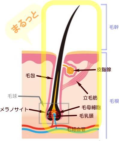 植毛のグラフトイメージ